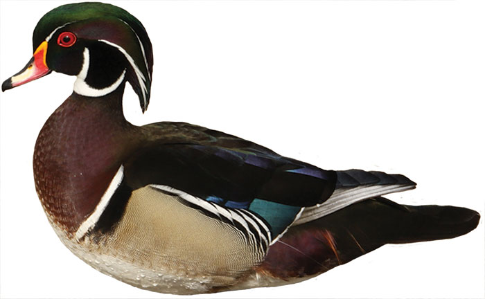 Fall Duck Hunting in MN